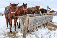 Sorrel horses eating hay from a feeding-tough at winter. Four sorrel horses eating hay from a feeding-tough at winter Royalty Free Stock Images