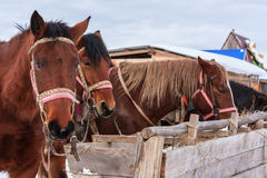 Sorrel horses eating hay from a feeding-tough at winter. Scenery Royalty Free Stock Photography