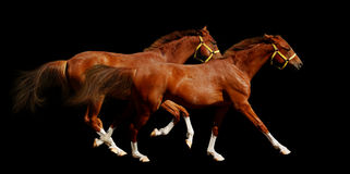 Sorrel horses gallop Royalty Free Stock Image