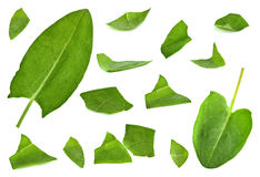 Sorrel leaf set. Rumex leaf closeup set isolated on white background Royalty Free Stock Images