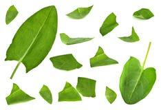 Sorrel leaf set Royalty Free Stock Images