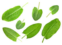 Sorrel leaf set Stock Image