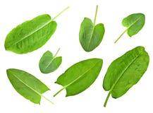 Sorrel leaf set Stock Image