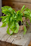 Sorrel leaves in a basket. On a wooden table Stock Photos