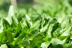 Sorrel leaves in nature. In the park in nature Stock Images