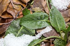 Sorrel leaves in the snow. In the park in nature royalty free stock photo