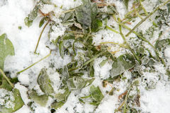Sorrel leaves in the snow. Photo in nature royalty free stock photography