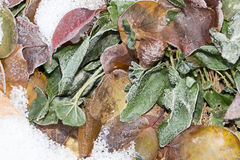 Sorrel leaves in the snow. Photo in nature royalty free stock photos