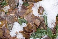 Sorrel leaves in the snow. In the park in nature royalty free stock photos