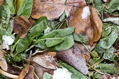 Sorrel leaves in the snow. In the park in nature royalty free stock image