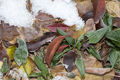 Sorrel leaves in the snow. In the park in nature royalty free stock images