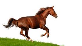Sorrel mare Stock Image