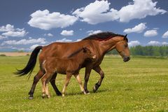 Sorrel horse and foal galop on the meadow. Sorrel mare and foal on the floral meadow royalty free stock photos