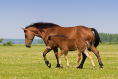 Sorrel mare and foal on the floral meadow. Sorrel horse and foal galop on the meadow royalty free stock image