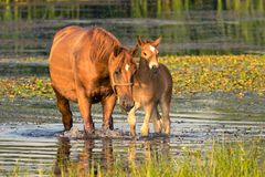 Sorrel mother horse and foal in the pond. Sorrel mother horse and foal on the drinking place stock images