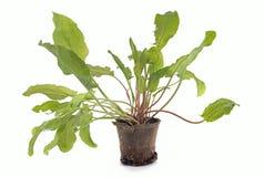 Sorrel plant Stock Images