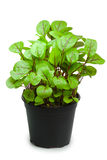 Sorrel in a pot. Isolated on white background stock images