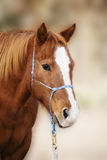 Sorrel Quarter Horse with Blaze. Vertical three quarter image of a pretty sorrel red quarter horse with a blaze, wearing a rope halter royalty free stock photography