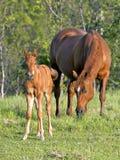 Sorrel Quarter Horse con il puledro Fotografia Stock