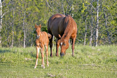 Sorrel Quarter Horse with Foal. Sorrel Quarterhorse Mare and Foal together in meadow Royalty Free Stock Photography