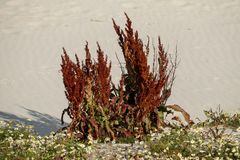 Sorrel Rumex obtusifolius. Is a very common herb, this one was found near the Dutch coast in the dunes royalty free stock image