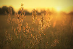 Sorrel seed in the field. At sunset Stock Images