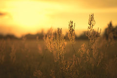 Sorrel seed in the field. At sunset Stock Image