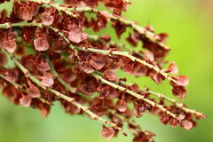 Sorrel seeds. Sorrel sprigs with brown seeds close-up stock photography