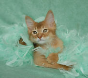 Sorrel somali kitten. In green feathers Royalty Free Stock Images
