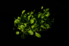 Sorrel sprouts Stock Images