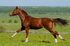 Sorrel stallion Royalty Free Stock Photography