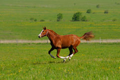 Sorrel stallion. Sorrel horse gallops in field Stock Photo