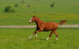 Sorrel stallion. The horse gallops in field Royalty Free Stock Photos