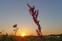 Sorrel in sunset Royalty Free Stock Photography