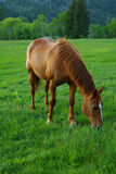 Sorrel Tennessee Walker Mare. Sorrel mare with a white blaze on nose, grazing in a Montana pasture in the early summer stock images