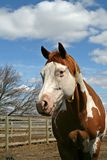 Sorrel Tobiano Horse. Standing in its Paddock Stock Photos