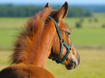 Sorrel trakehner foal. In field Stock Image