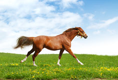Sorrel trakehner foal gallops. Realistic photomontage Stock Photo