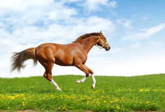 Sorrel trakehner foal gallops. Realistic photomontage Royalty Free Stock Photos