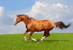 Sorrel trakehner stallion. Gallops in field Stock Photos