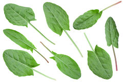 Sorrel vegetable leaf collection. Sorrel set vegetable leaf closeup isolated on white Stock Photos