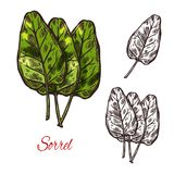 Sorrel vegetable spice herb vector sketch icon. Sorrel vegetable spice herb plant sketch icon. Vector isolated leaf of wild sorrel lettuce for culinary cuisine Stock Images