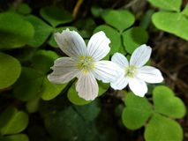Sorrel with white blossom in the forest. Sorrel White blossom Flower plant clover forest nature wild mountains royalty free stock photography