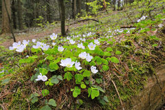 Sorrel. With white flowers on the forest floor Stock Image