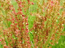Sorrel wild plant. Beautiful sorrel plant in meadow in summer, Lithuania royalty free stock photo