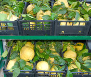 Sorrento lemons. Lemons at a street market in Sorrento Italy Royalty Free Stock Image