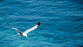 Sorrento Seagull. Seagull with a nice mediterranean sea background of Sorrento - Italy Royalty Free Stock Images