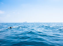 Sorrento, seaview with dolphins. Dolphins jumping in the gulf of Naples, Italy Royalty Free Stock Image