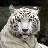 Sorridere bianco della tigre fotografie stock