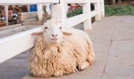 Sorridere degli allevamenti di pecore Immagini Stock Libere da Diritti